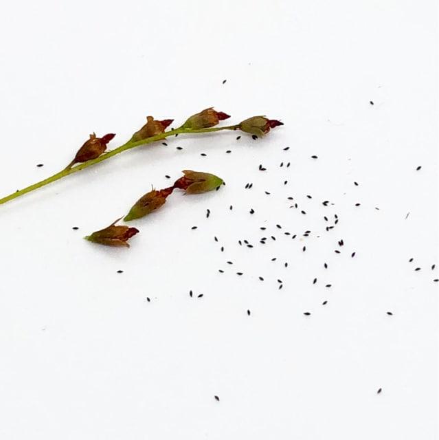 トウカイコモウセンゴケ 種子30粒 食虫植物 ドロセラ 虫退治 < ペット/手芸/園芸の