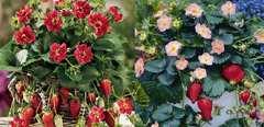 珍しい 紅花のイチゴ 4粒とピンクの花のイチゴ4粒 合計 8粒