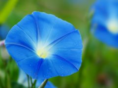 アサガオの種〜水色の花びら〜