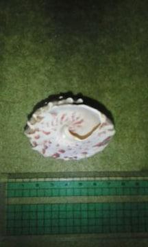 三角貝貝殻(中)♪